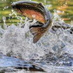 Image de l'article «Échantillonnage non létal des tissus de poissons»